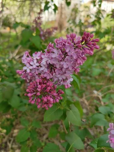 IreneRoldan en Hamelin: Flora  (Madrid), Syringa vulgaris, Primavera en el #realjardinbotanicomadrid