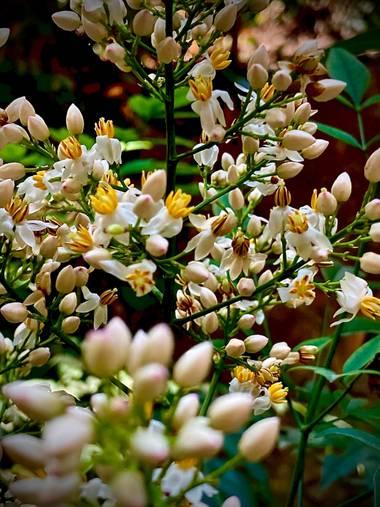 Erikalan9 en Hamelin: Flora, Nandina domestica