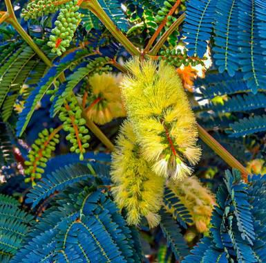 bernard1402  en Hamelin: Flora  (Barcelona), Paraserianthes lophantha, Planta tipo arbusto con hojas amarillas en forma de cepillo, de aquí que se le conoz...
