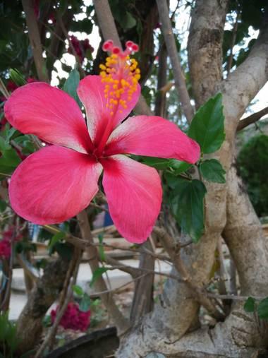 Britnyraymundo en Hamelin: Flora  (Marquelia), Hibiscus rosa-sinensis, Linda flor#💮@ malina