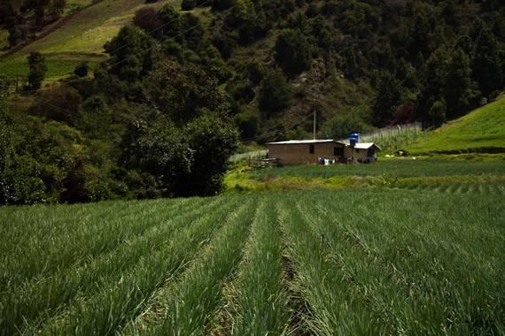 Vahz en Hamelin: Paisaje  (Tota), Grandes cultivos cerca a Playa blanca, son las creadoras de paletas verdes. #colombia #colombiabella  #boyaca #campocolom...