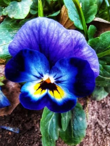 Naomi en Hamelin: Flora  (Barcelona), Viola x wittrockiana, #flor#colores