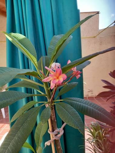olgabijoux.ot en Hamelin: Flora  (Luján de Cuyo), Plumeria rubra
