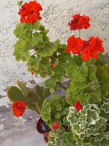 olgabijoux.ot en Hamelin: Flora  (Luján de Cuyo), Pelargonium zonale