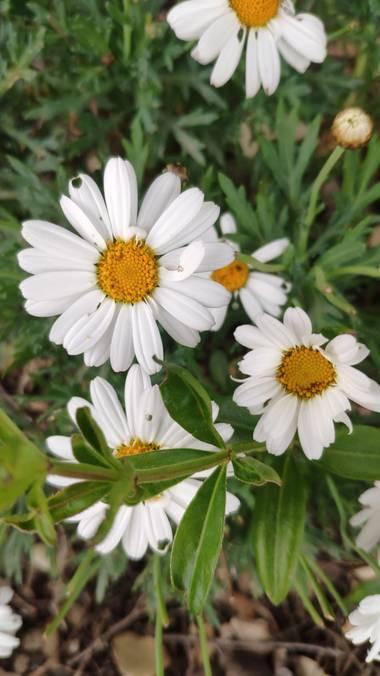 Isabel A. en Hamelin: Flora  (La Jana), #flora21