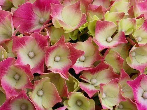Jonathanmartinbedia0007 en Hamelin: Flora, Hydrangea macrophylla, 📸@
