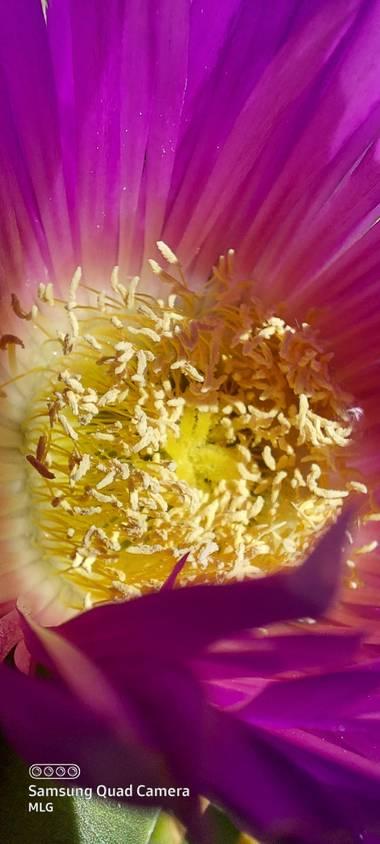 Apasnau75 en Hamelin: Flora  (Pizarra), Preciosa su flor, más debido a su potencial colonizador y constituir una amenaza grave para las especies autóctonas...