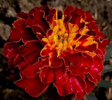 Mistela17 en Hamelin: Flora, Tagetes erecta, #flora21