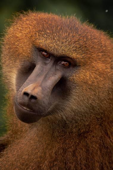 Alberto Lázaro en Hamelin: Fauna, Un retrato muy mono