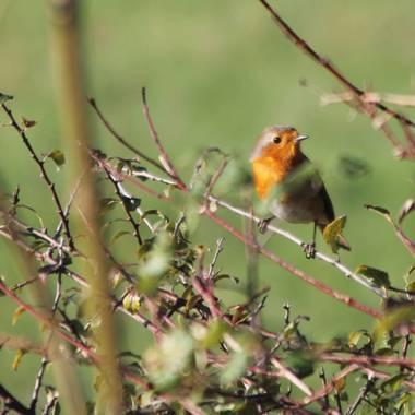mungikoa en Hamelin: Fauna  (Gatica), #aves21