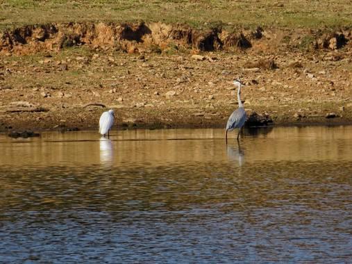 fabiola en Hamelin: Fauna  (Oliva de la Frontera), #garzas #real #pantano #sol