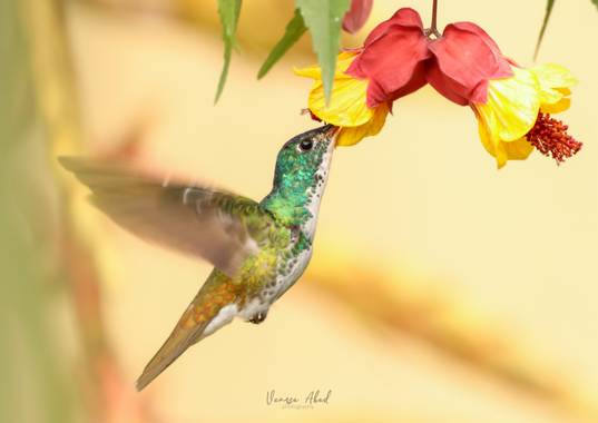 vanesaabadr en Hamelin: Fauna  (Santa Rosa de Cabal), Amazilia franciae franciae, Hace poco salí a ver aves con mi mamá, fue increíble ver su emoción con c...