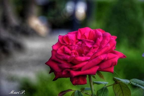Mariquilla1970 en Hamelin: Flora, Rosa chinensis, #rosa #roja #flor #naturaleza