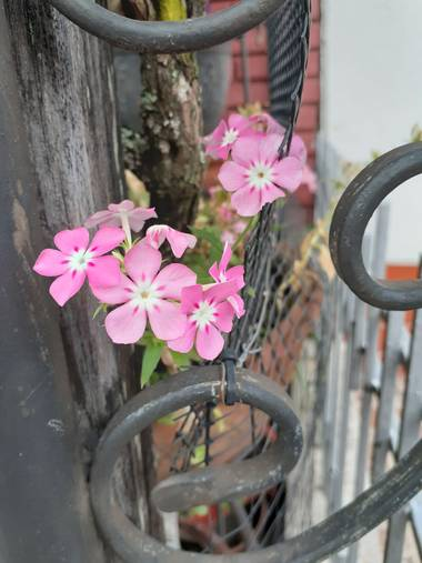 #adrimoreno en Hamelin: Flora  (Cartago), Phlox drummondii, Flor#rosa#pequeña#hermosa#naturaleza#adrimor@afrodita2081