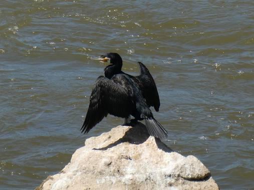 carreteviajero en Hamelin: Fauna  (Valladolid), Phalacrocorax carbo (Linnaeus, 1758), Sabes que se acerca el invierno cuando ves a los cormoranes en el río...