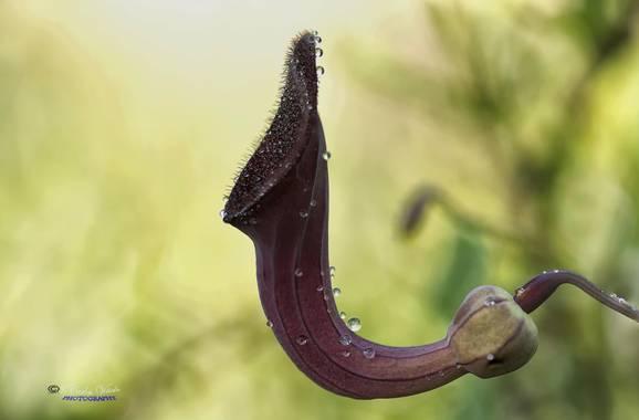 Juankafv en Hamelin: Flora  (Málaga), La aristoloquia es una planta típica del sotobosque, matorral y maleza, librándose de la sombra gracias a sus caracte...