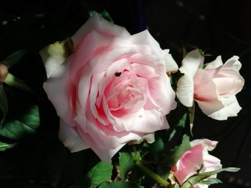 magali.alvarez.paleo en Hamelin: Flora  (Majadahonda), Rosa chinensis, #Flora21