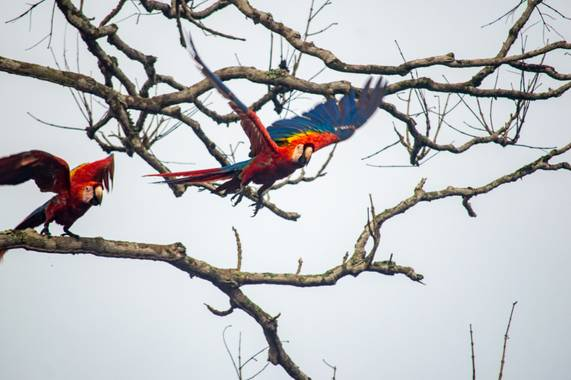 Camiloacca90 en Hamelin: Fauna  (Vistahermosa), Ara macao (Linnaeus, 1758), #avistamientodeaves #serraniadelamacarena #turismocolombia #aves #turismodeaves...