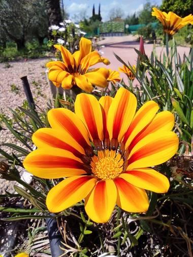 Ulricharrondo en Hamelin: Flora  (Posadas), Gazania linearis, #macro #flower
