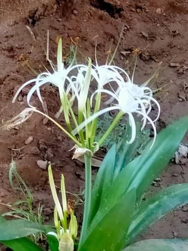 Solerantonio2 en Hamelin: Flora  (Almería), Flor en mi jardín de barrio