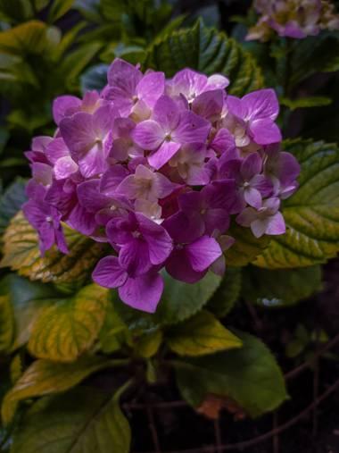 Segundoghione en Hamelin: Flora  (Freyre), Hydrangea macrophylla