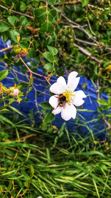 Sortueta en Hamelin: Flora  (Castro-Urdiales), Abrazos