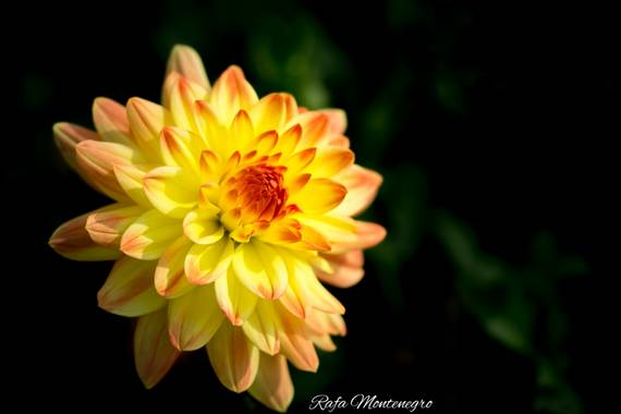 Rafa Montenegro en Hamelin: Flora  (Berga), @apfb #penyafotograficabadalona #apfb #rafa_montenegro #dahlia #macro #macroandflora