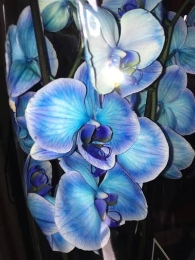 Juanatlantida82 en Hamelin: Flora, Orquídea blue