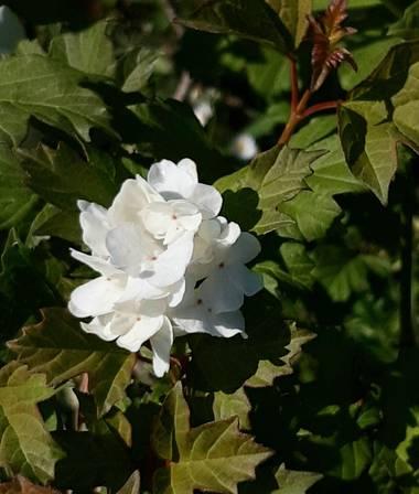 Mpinfante en Hamelin: Flora, .