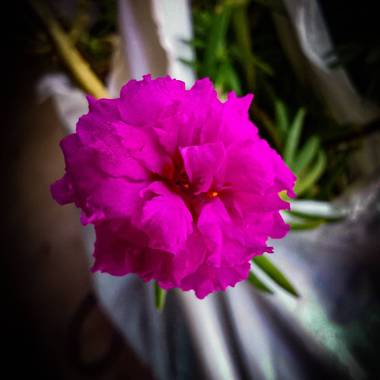 Ylcar2012 en Hamelin: Flora  (Chacarita), Portulaca grandiflora, #Fotografía tomada con el #Huawei_Mate_20 en modo #Super_Macro editada después con #Adobe ...