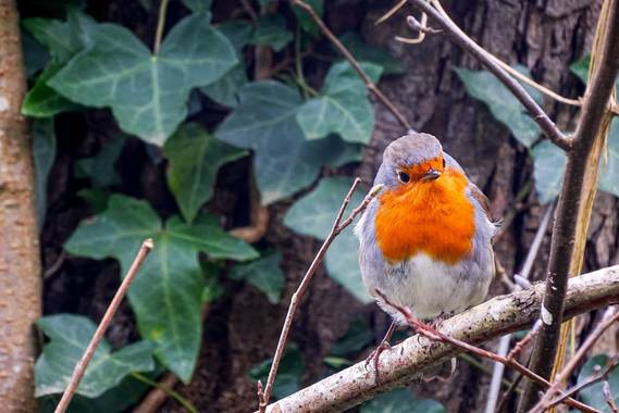 Eritz.cortazar en Hamelin: Fauna  (Bilbao), Erithacus rubecula (Linnaeus, 1758), Petirrojo 🐦  #erithacus #erithacusrubecula #ave #aves21 #bird #birdphoto ...