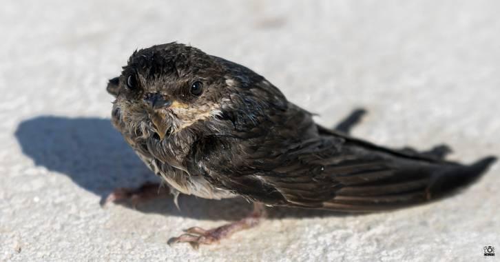 Acorazado3000 en Hamelin: Fauna  (Priego de Córdoba), Delichon urbicum (Linnaeus, 1758), ¡¡Chapuzon¡¡, este polluelo de golondrina lo saque del agua, tuvo...