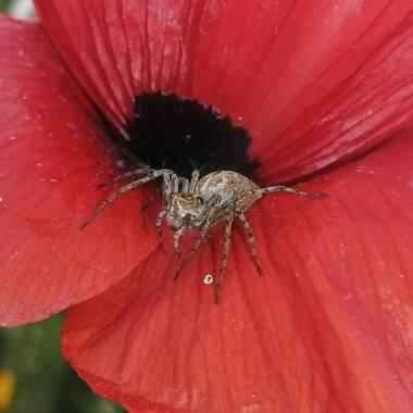 Gustavo Adolfo. en Hamelin: Fauna  (Talavera de la Reina), Oxiopes heterophthalmus. O también araña lince. Se la llama así por su forma de cazar. No teje t...