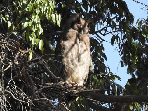 olaya96fg en Hamelin: Fauna  (Narok), Bubo lacteus (Temminck, 1820), #Aves21