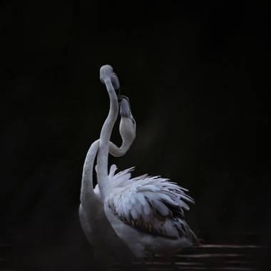 photonature_dicaba en Hamelin: Fauna  (Valencia), #aves #flamencos #saler