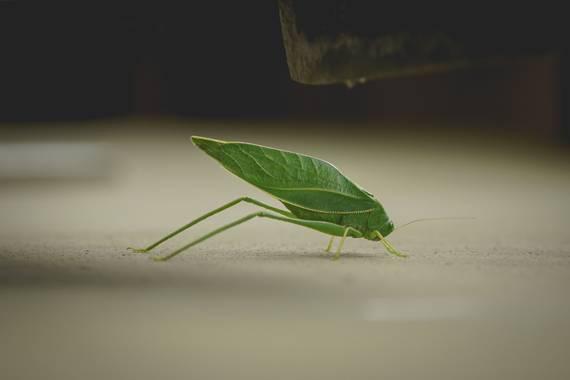 phjuaniito en Hamelin: Fauna  (Tandil), Una hoja con patas o un bicho como una hoja? #bicho #bug #naturaleza #tandil