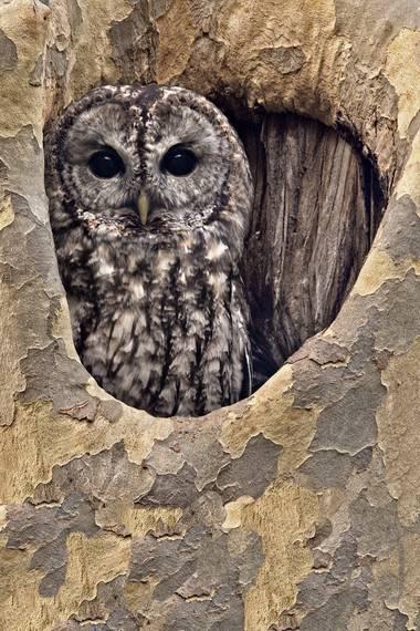 Ignicapillus en Hamelin: Fauna, Strix aluco Linnaeus, 1758, Cárabo común (Strix aluco)  Su lúgubre reclamo puede oírse con frecuencia y es una de las aves...