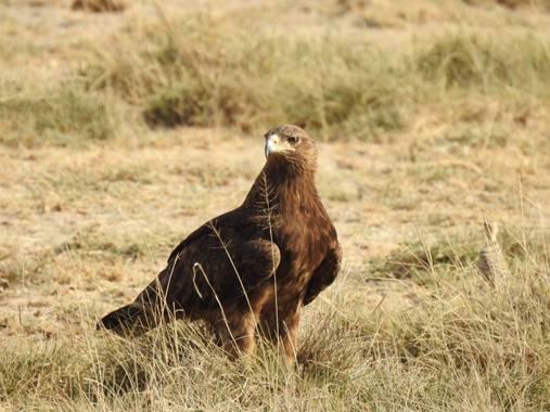 olaya96fg en Hamelin: Fauna  (Nakuru), Aquila rapax (Temminck, 1828), #Aves21
