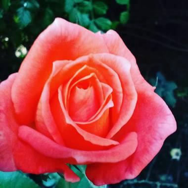 julietapasquato en Hamelin: Flora, Rosa chinensis