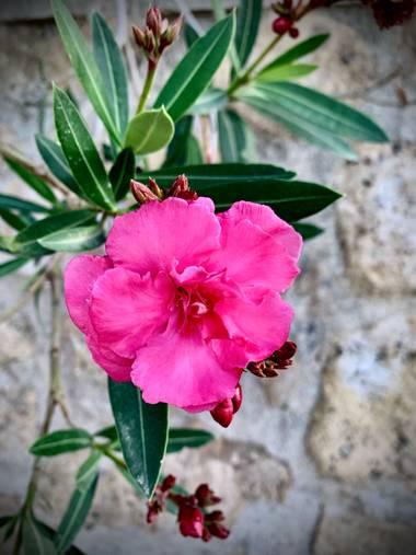 carogv1995 en Hamelin: Flora  (Archena), Nerium oleander, #baladre  #rosarosae