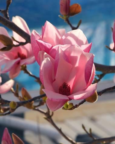 Georginaag en Hamelin: Flora  (Tordera), Magnolia × soulangeana, #flor #magnolio #macroflower