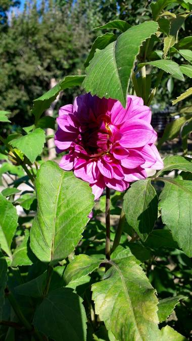 𝐕𝐄𝐑𝐎𝐍𝐈𝐂𝐀 en Hamelin: Flora, Dahlia pinnata, #flor