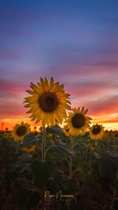 Rosa N. en Hamelin: Flora  (Ciudad Real), Helianthus annuus, Los girasoles o mirasol giran según la posición del sol solo cuando la planta todavía es joven...