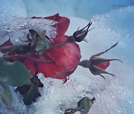 Yatoma66 en Hamelin: Flora  (Madrid), Qué frío  #invierno20