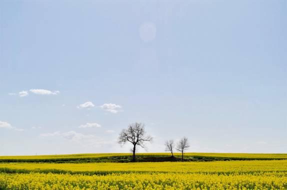 Azulmarino  en Hamelin: Paisaje  (Gurb), Campos de colza #frommypointofview #colza #campo #amarillo #primavera