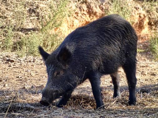 Albarisle en Hamelin: Fauna  (Fuenlabrada de los Montes), #jabalí #lasiberiaextremeña #naturaleza #extremadura