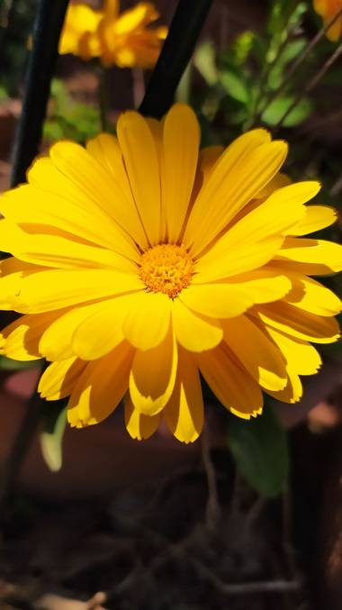 Angelambelly en Hamelin: Flora  (Cruïlles Monells i Sant Sadurní), #flora21