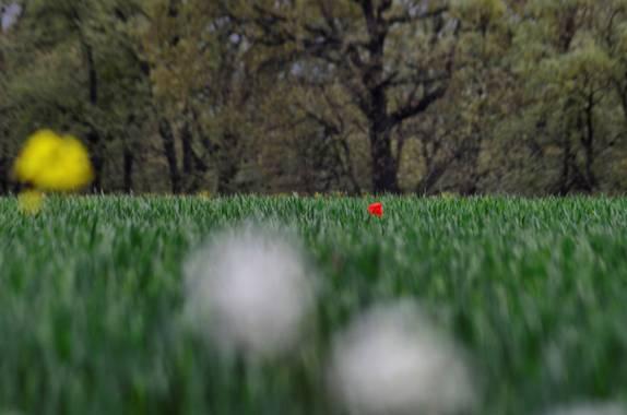 Azulmarino  en Hamelin: Flora  (Toses), Rojo, blanco & amarillo #frommypointofview #primavera #naturephotography #flora #amapola