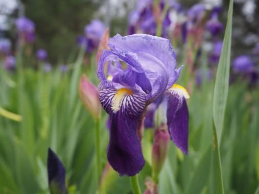 Julialozanoc en Hamelin: Flora  (Daroca), Iris germanica, Los lirios, tan llamativos en esta época del año, son considerados una planta invasiva. #flora21
