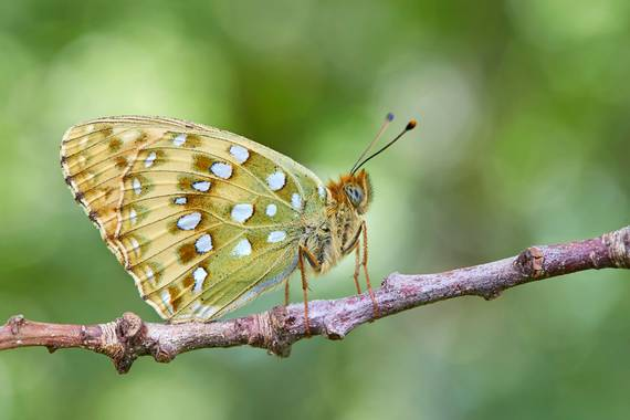eldruida en Hamelin: Fauna  (Folgoso do Courel), #mariposa #butterfly #macro
